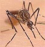 Aedes-aegypti_1